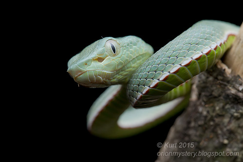 <i>Trimeresurus vogeli</i>_MG_0745 copy