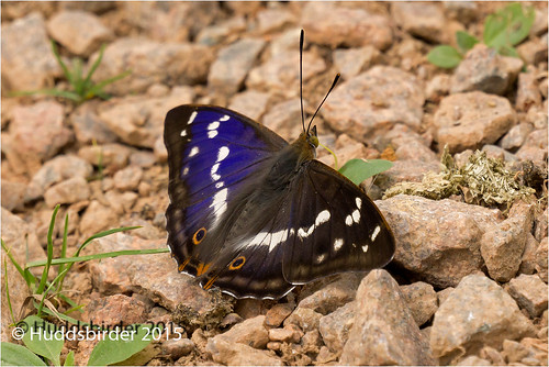 Purple Emperor Butterfly...H.I.M