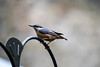 Pensive Nuthatch