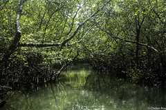 Through Mangroves