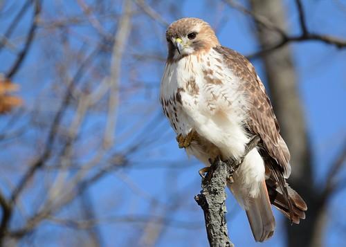 birds birdsofprey raptors hawks hawkredtailed redtailedhawk jdawildlife johnny nikon nikond7100 tamronsp150600mmf563divc portrait eyecontact whatbirdbestofday wow