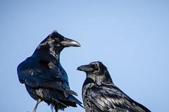 perching bird(0.0), jay(0.0), accipitriformes(0.0), animal(1.0), wing(1.0), raven(1.0), crow(1.0), fauna(1.0), blue(1.0), american crow(1.0), beak(1.0), bird(1.0), rook(1.0),
