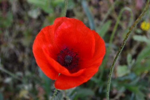 Red poppy - amapola roja