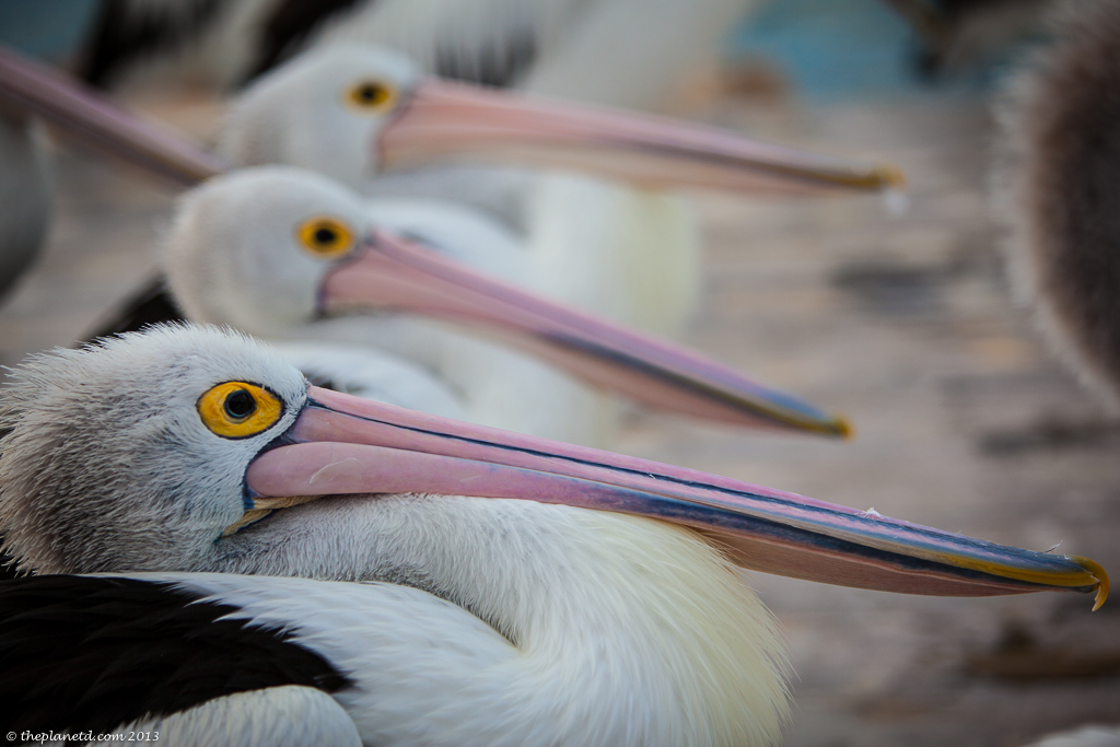 Kangaroo Island the Pelican Man