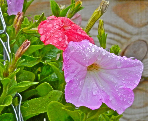 Petunias in the Rain .......(162/365) by Irene_A_
