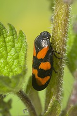 HolderRed-and-black Froghopper