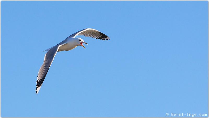 Måke - Seagull