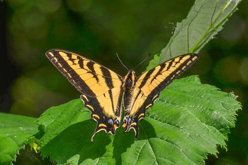 <p><i>Papilio rutulus</i>, Papilionidae<br /> Burnaby Lake Park, Burnaby, British Columbia, Canada<br /> Nikon D5100, 70-300 mm f/4.5-5.6<br /> June 29, 2013</p>