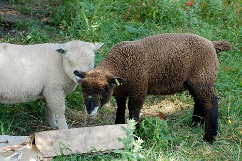 Ryeland Ram Lamb