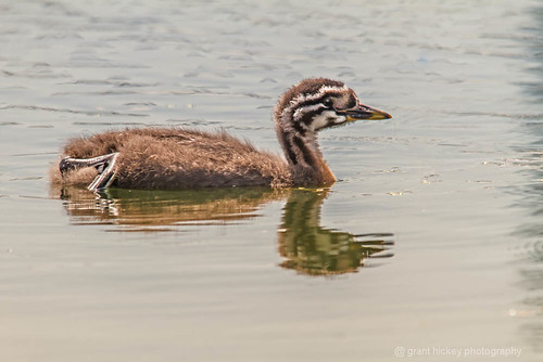 juvenille red necked grebe by gashphoto