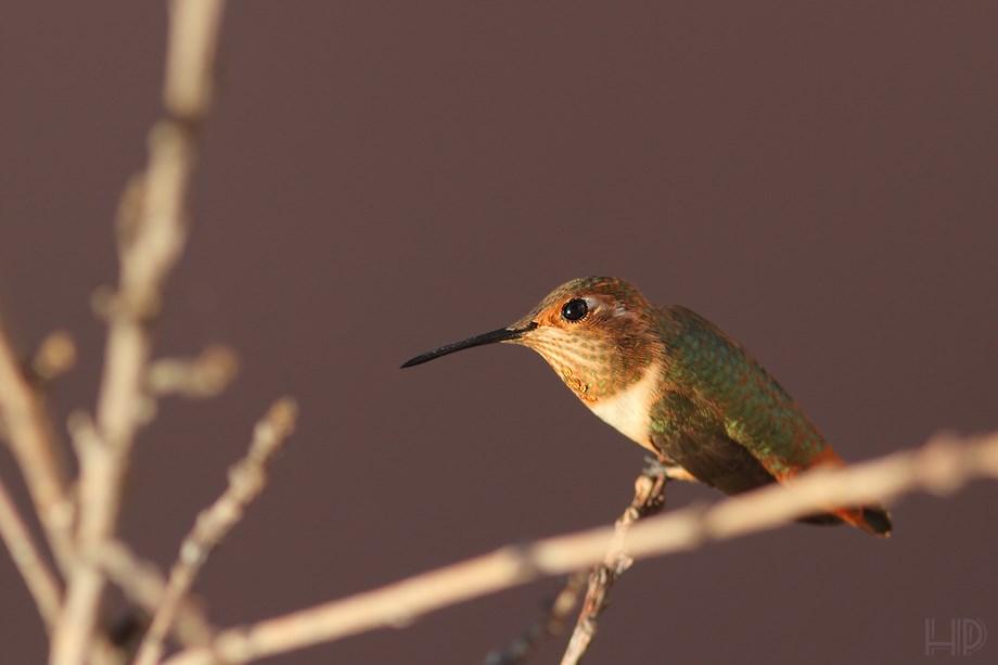 immature Allan's Hummingbird 072313-3