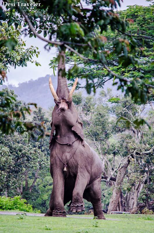 Large Tame Tusker Bandipur