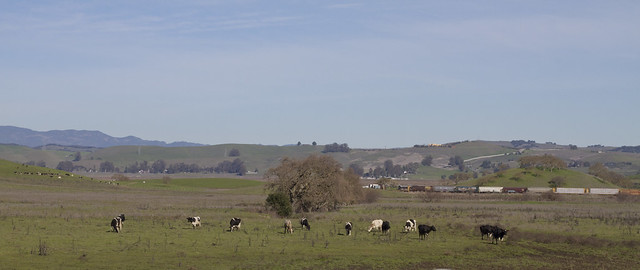 cows grazing, northern California (2013)