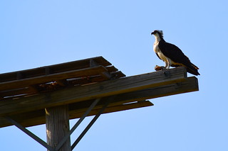 Osprey in Southold