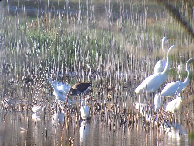 White Ibis - Delaware