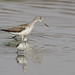 Common Greenshank, Tringa nebularia (I think) at Borakalalo National Park, South Africa