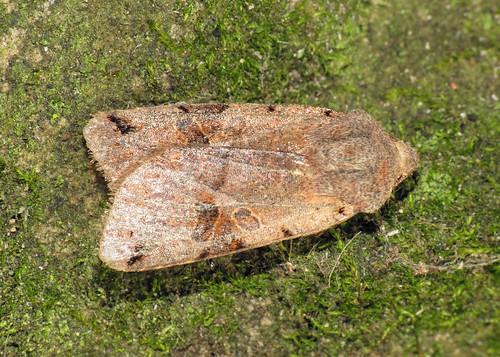 2266 Brown-spot Pinion - Agrochola litura