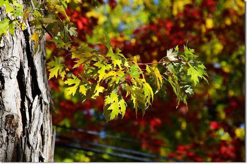 Silver maple in Fall, Chautauqua, Boulder 1
