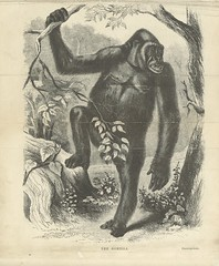 """British Library digitised image from page 12 of """"Explorations and adventures in Equatorial Africa; with accounts of the manners and customs of the people and of the chace of the gorilla, crocodile, leopard, elephant, hippopotamus and other animals. (Secon"""