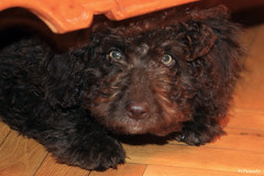 toy poodle, miniature poodle, dog breed, animal, dog, schnoodle, boykin spaniel, pet, poodle crossbreed, cockapoo, cavapoo, barbet, american water spaniel, carnivoran,