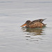 2013-12-09 Northern Shoveler by -jon