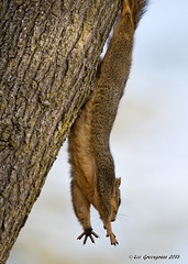 Squirrel Trapeze Artist