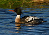 Red Breasted Merganser (mergus serrator) by Chris-Henry