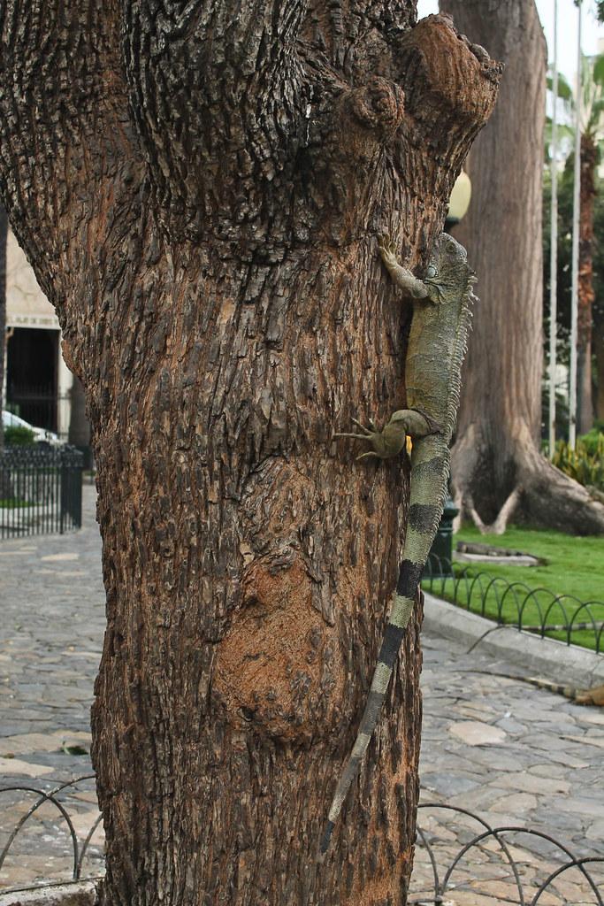 Iguana is climbing