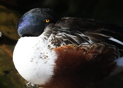 Northern Shoveler Trying to Nap