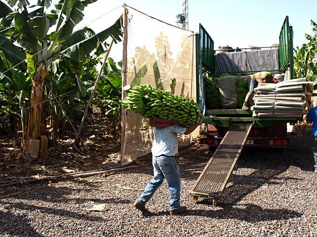 Banana workers