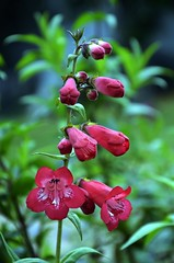 Penstemon from Sri Lanka