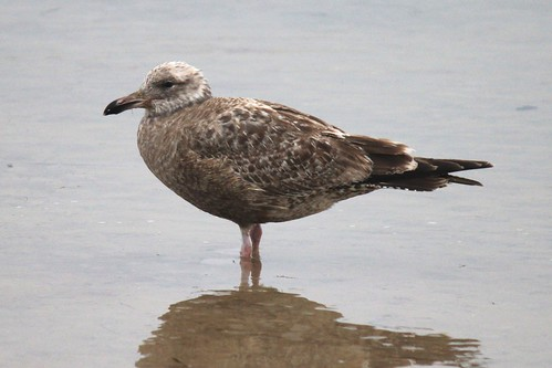 IMG_3595_Brownish_Speckled_Gull