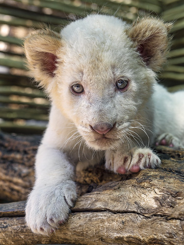 Posing white lion cub by Tambako the Jaguar