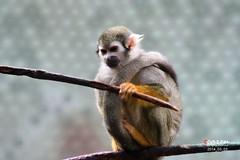 Primaten im Tierpark Hellabrunn 2014_03_03