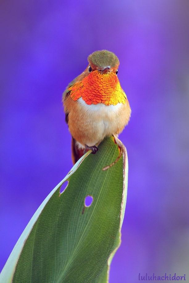 Allan's Hummingbird 032214