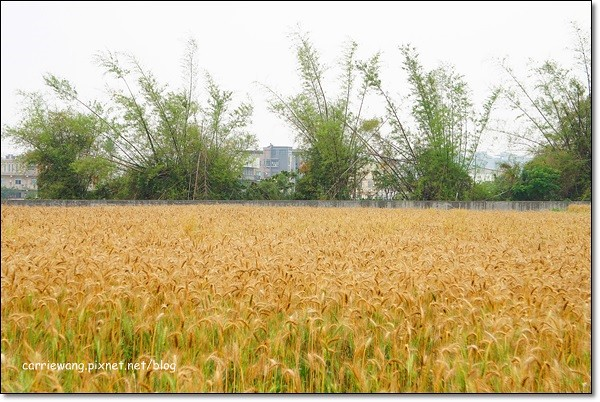 Wheat Farm (31)