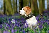 Porthos Beagle at Bluebell Woods | Hertfordshire, England