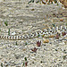 BLUNT-NOSED LEOPARD LIZARD by Maggie.Smith