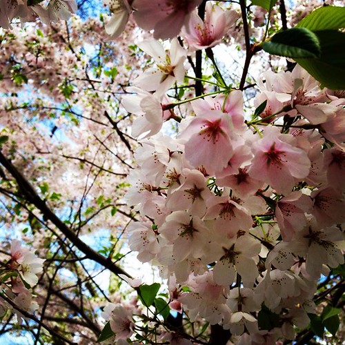 blossoms, cherry blossoms, cherry tree, spring blossoms
