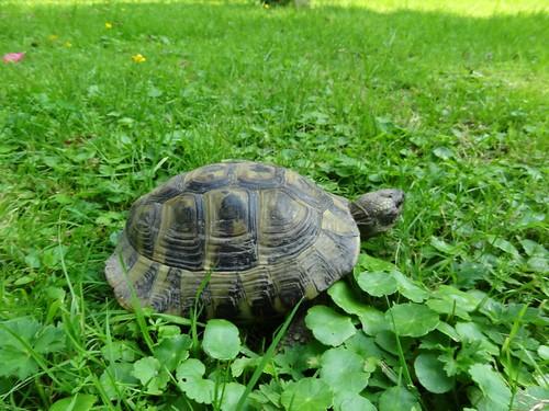 entlaufene Landschildkröte im Gras