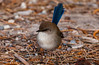 Superb_Fairy_Wren
