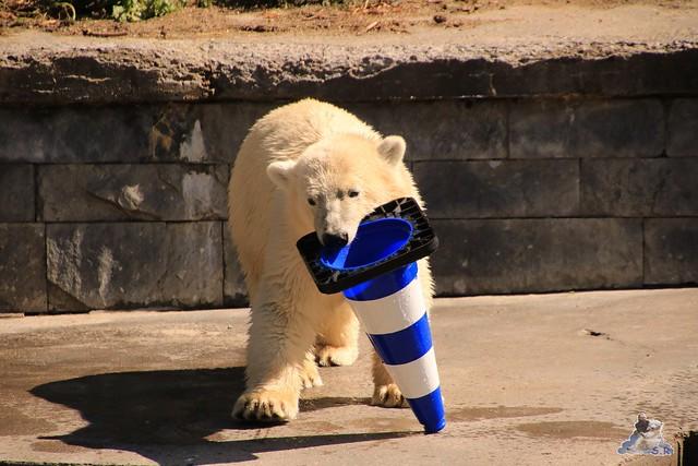 Eisbär Fiete im Zoo Rostock 066