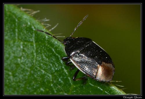Canthophorus fuscipennis