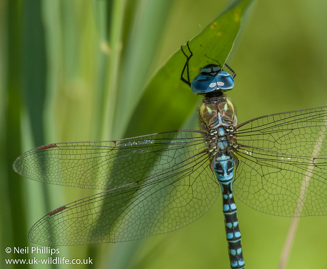 Southern migrant hawker-6