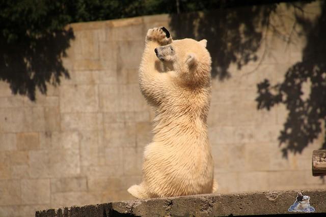 Eisbär Fiete im Zoo Rostock 0173