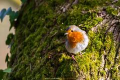 Rougegorge / Robin
