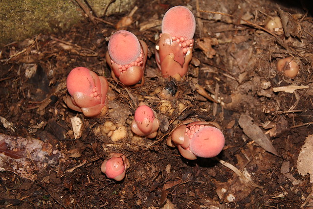 Balanophora fungosa - Fungus Root, Coopers Creek, Daintree National Park, North Queensland