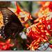 Battus polydamas - Polydamas Swallowtail por J. Amorin