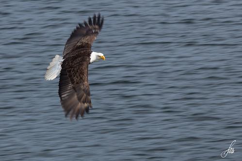 canada nature eagle britishcolumbia wildlife bald adventuretours khutzeymateen skeenaqueencharlottea