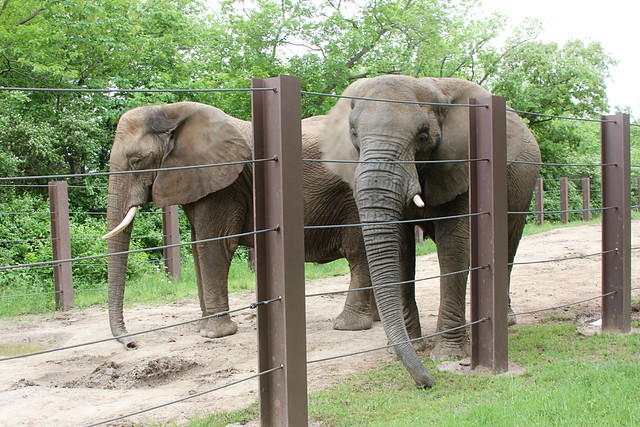 Tate_Zoo_Elephants